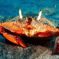 アサヒガニ(旭蟹)の基礎知識と旬や食べ方