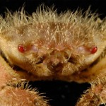クリガニ(栗蟹)の基礎知識と旬や食べ方