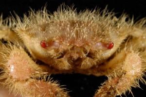 new-deep-sea-creatures-kermadec-ridge-crab_54913_big
